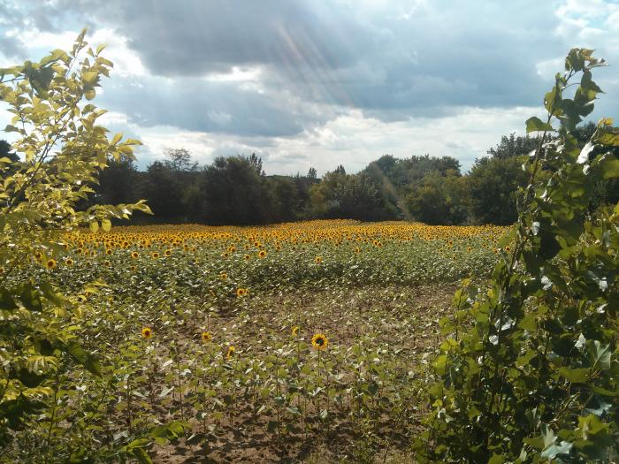 Sunflower field at camp de florence